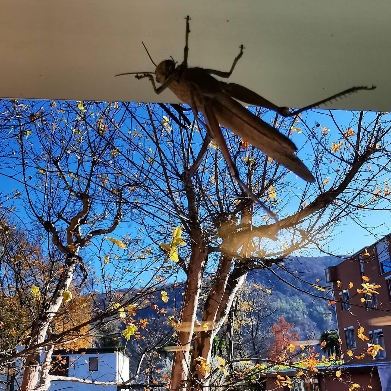 Arbeiten unter Beobachtung 😊. Heute haben wir Besuch: Eine Heuschrecke geniesst die Sonne auf dem Fenster unseres Büros. Sorry Kleine, wir eröffnen erst wieder im April. . #naturephotography #heuschrecke #herbstliebe #sonnigernachmittag #sonnigerherbsttag #sonnenstrahlen #insektenfotografie #insektenfreundlich #november2020 #novemberamsee #autumnweather